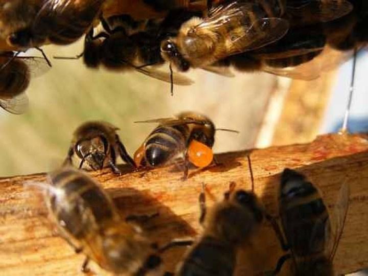 Les produits de la ruche : la propolis