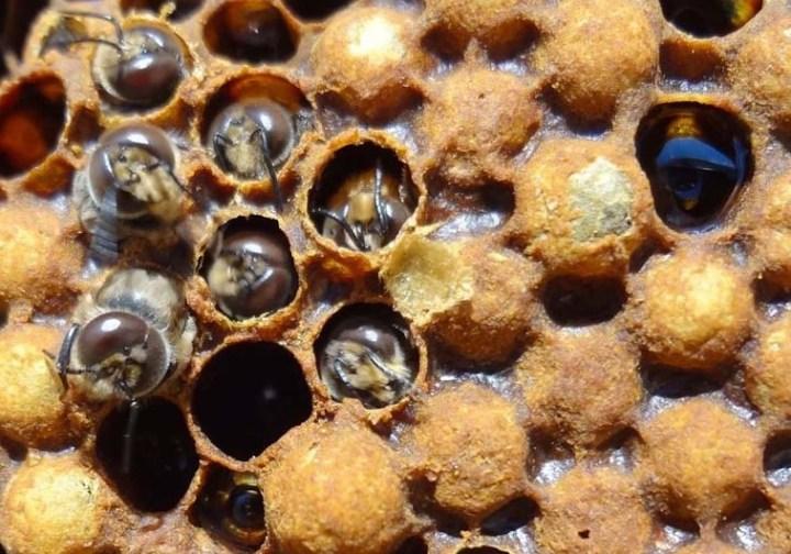 Les habitants de la ruche: le faux-bourdon