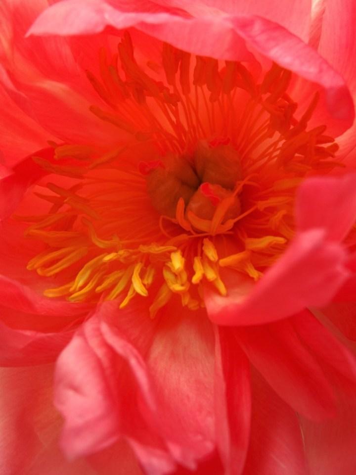 Pivoine rose