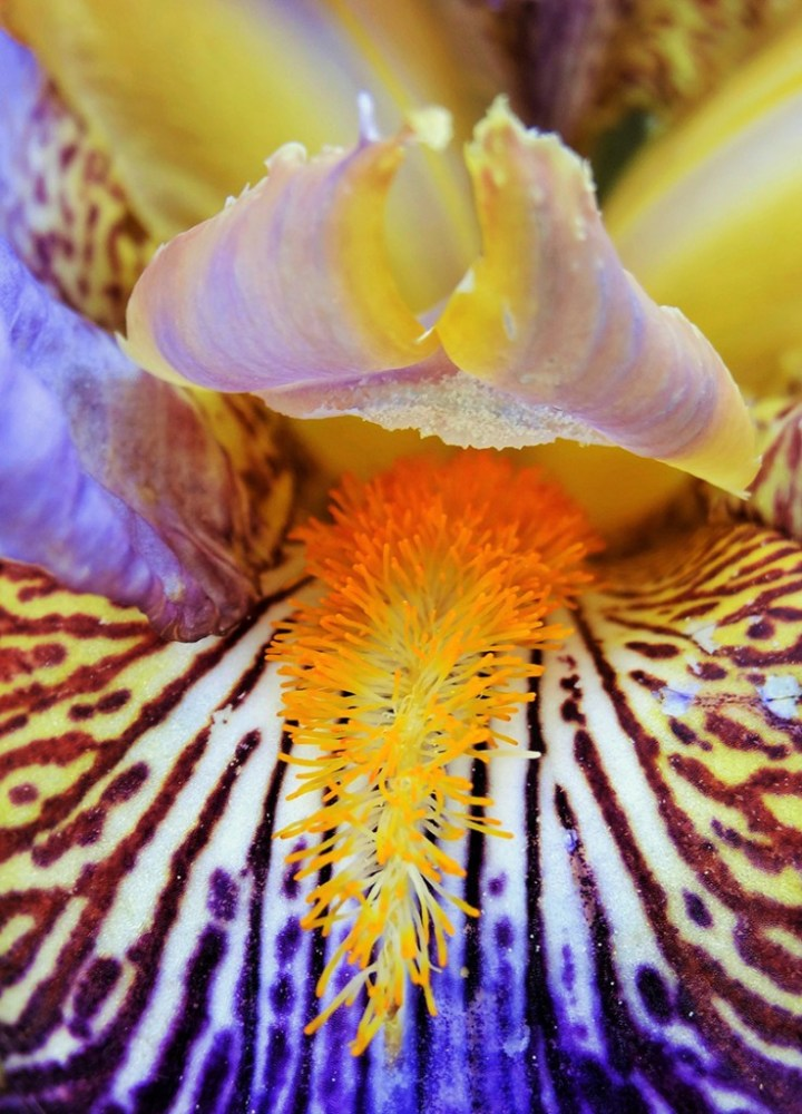Iris tigré