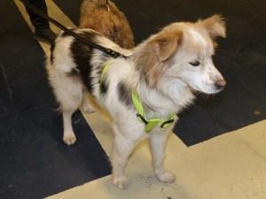 Lacy - chiens adoptés en 2015