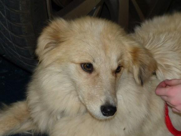Neige - chiens adoptés en 2016