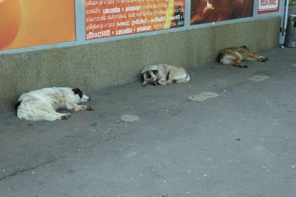 Un trottoir de Bucarest - chiens communautaires