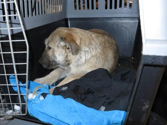 Bruno - chiens adoptés en 2013