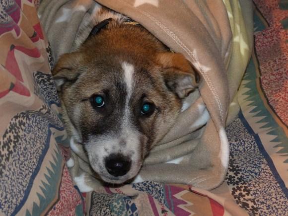 Joey - chiens adoptés en 2013