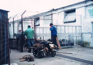 Fourrières de Bucarest Euthanasie de chiens à Bragadiru