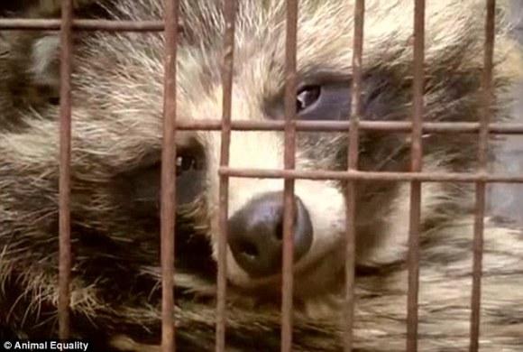 Chien viverrin élevé en cage pour sa fourrure (Chine, 2015) - boutique Zapa