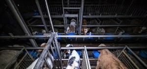 Abattoir de veaux Sobeval La vie des veaux