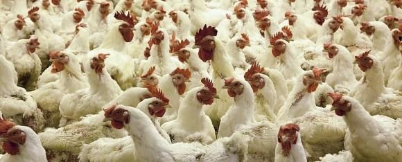 Elevage industriel de poulets animaux imaginaires