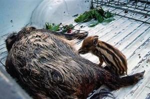 Mère sanglier courage sangliers chasseurs régulation