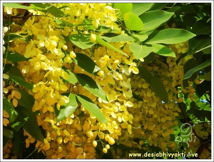 Cassia Fistula or Konde Flowers
