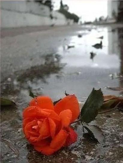 Red Rose On Ground