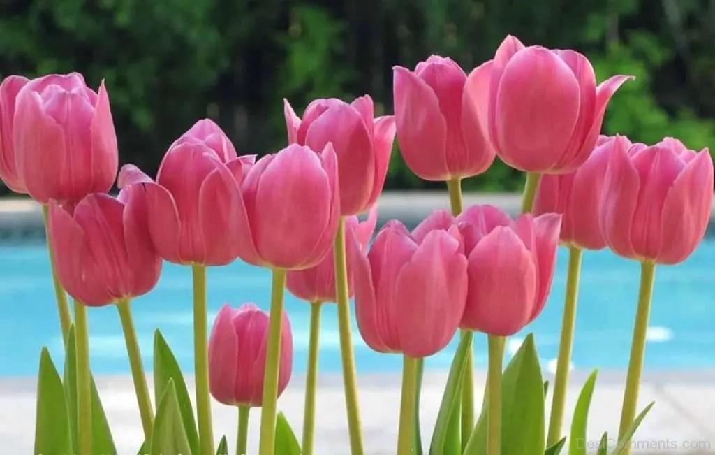 100 Tulip Pictures Images Photos