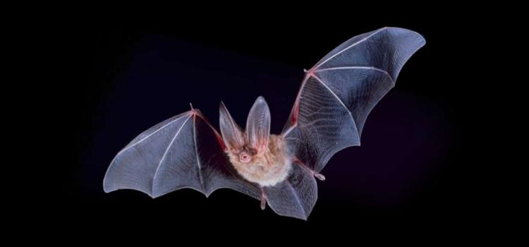Virginia Big-Eared Bats