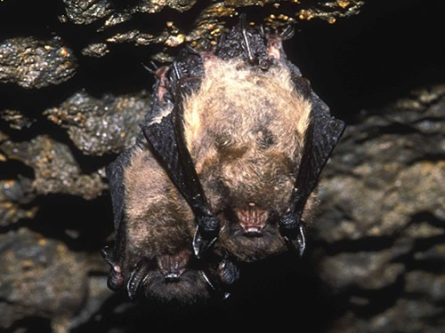 Little Brown Bats Photo Hollingsworth John and Karen, U.S. Fish and Wildlife Service - Linville Caverns – The Underground World of Caves