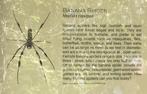 Banana Spider - Green's Shell Enclosure Heritage Preserve – Hilton Head Island
