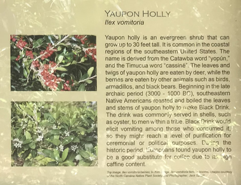 Yaupon Holly - Green's Shell Enclosure Heritage Preserve – Hilton Head Island