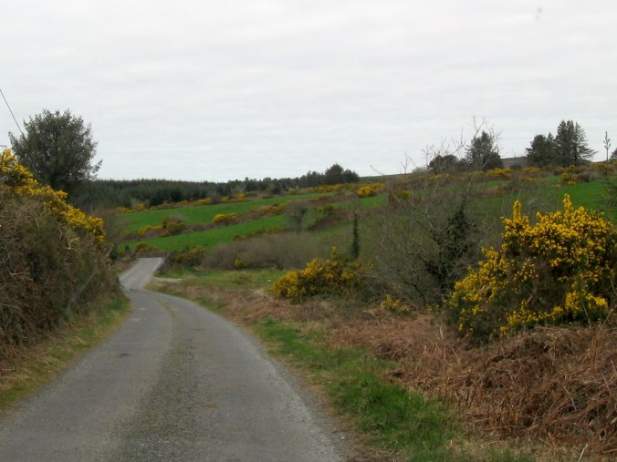 Bright yellow gorse flowers blooming everywhere in Spring