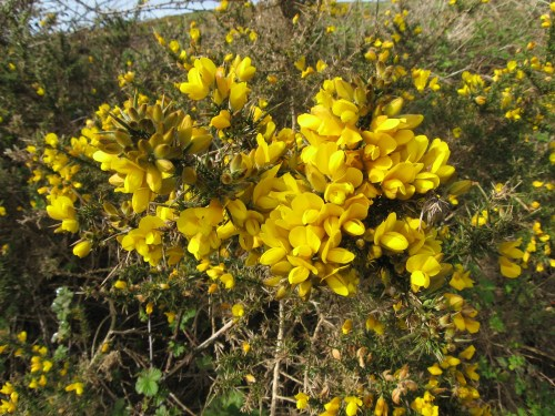 Gorse near Doolin, Ireland