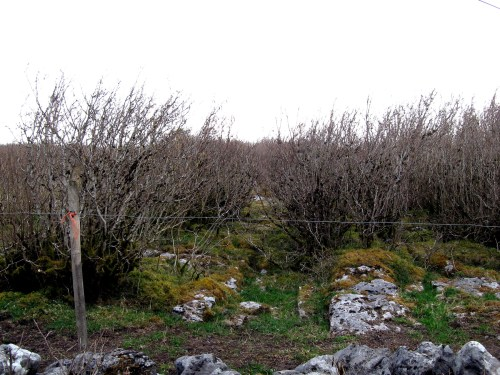 Thick moss over the limestone, The Burren, Ireland