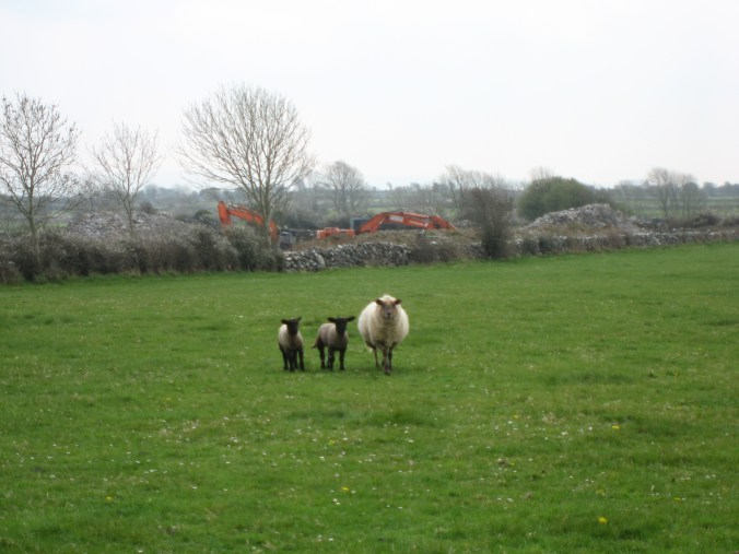 Beautiful lambs and sheep, near Ardrahan, County Galway