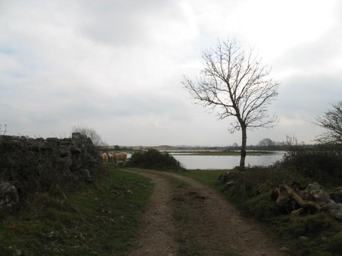 Cattle near ruins near Ringfort – Cashel