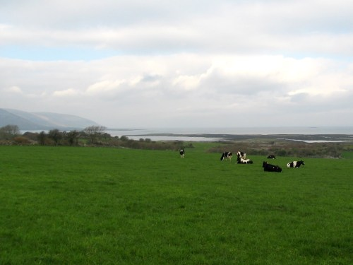 Beautiful Cattle Grazing at Galway Bay, Ireland