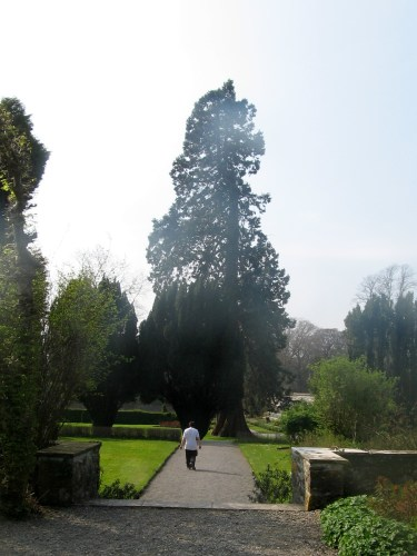 Walk to Atlas Cedar at Birr Castle Gardens