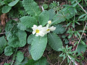 Primrose near Maple Leaf Bed and Breakfast, Windgap, Cork Rd, Dungarvan, Ireland