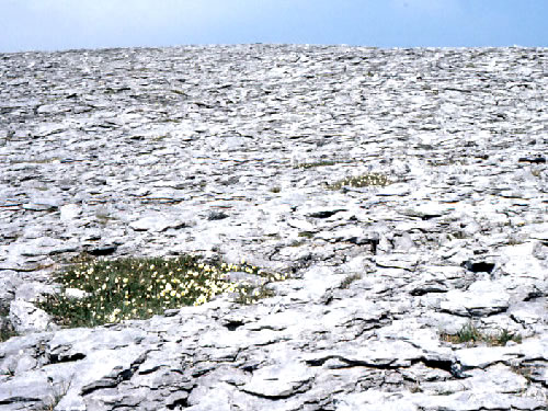 Mountain Avens in shattered limestone pavement of the Burren Photo by Dr Charles Nelson - Plants and Flowers of the Burren - A Different Visit to Ireland