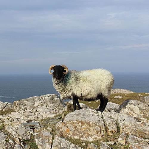 Inishturk Sheep Photo by Towel 401 - Islands of Ireland's Western Connemara – Ireland, A Different Visit