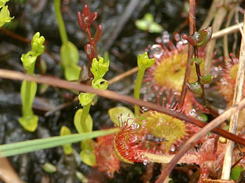 Bog Orchids and Sundews Photo by Orchi