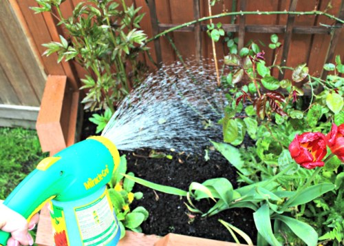Miracle Gro fertilizer for bigger flowers