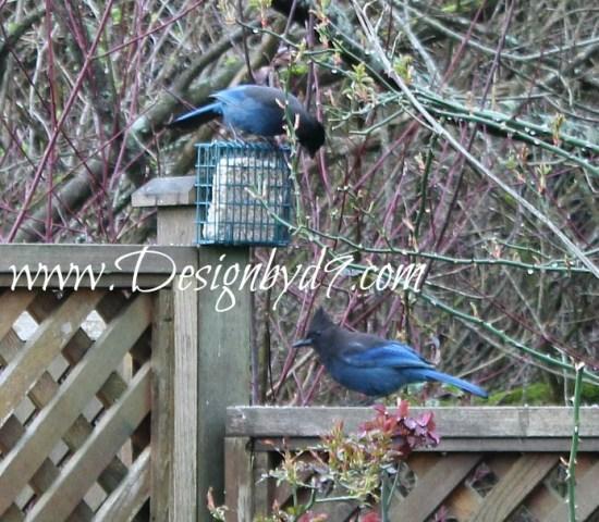 yard transformation|Blujays|Bird feeder|suet feeder