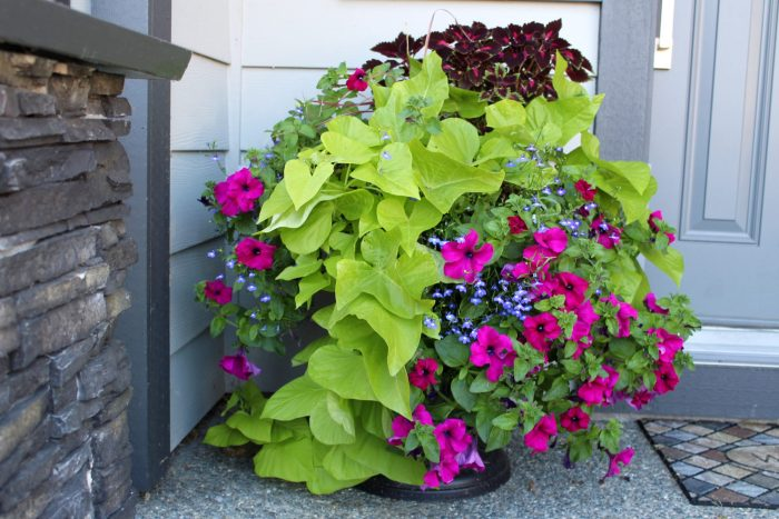 Make these front porch planters using the thrill fill and spill method. These planters incorporate coleus, sweet potato vine, petunias, lobelia and fountain grass for a dazzling display of colour