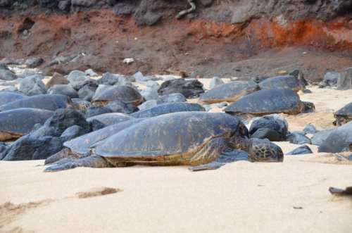Turtles, Maui, Hawaii