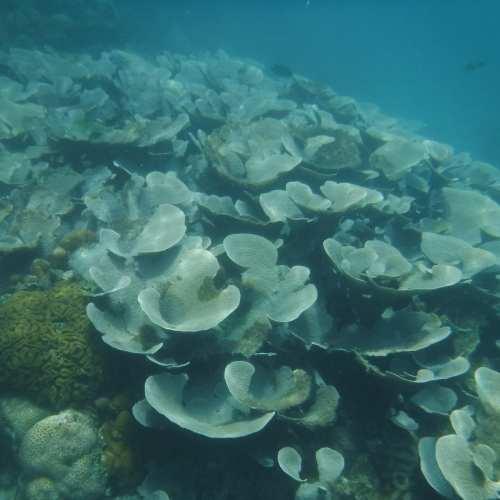 Palau: coral