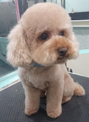 Designer Dogs Grooming Studio Before Amp After Pics