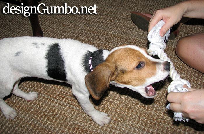 Bitey Beagle Leeloo likes to chew