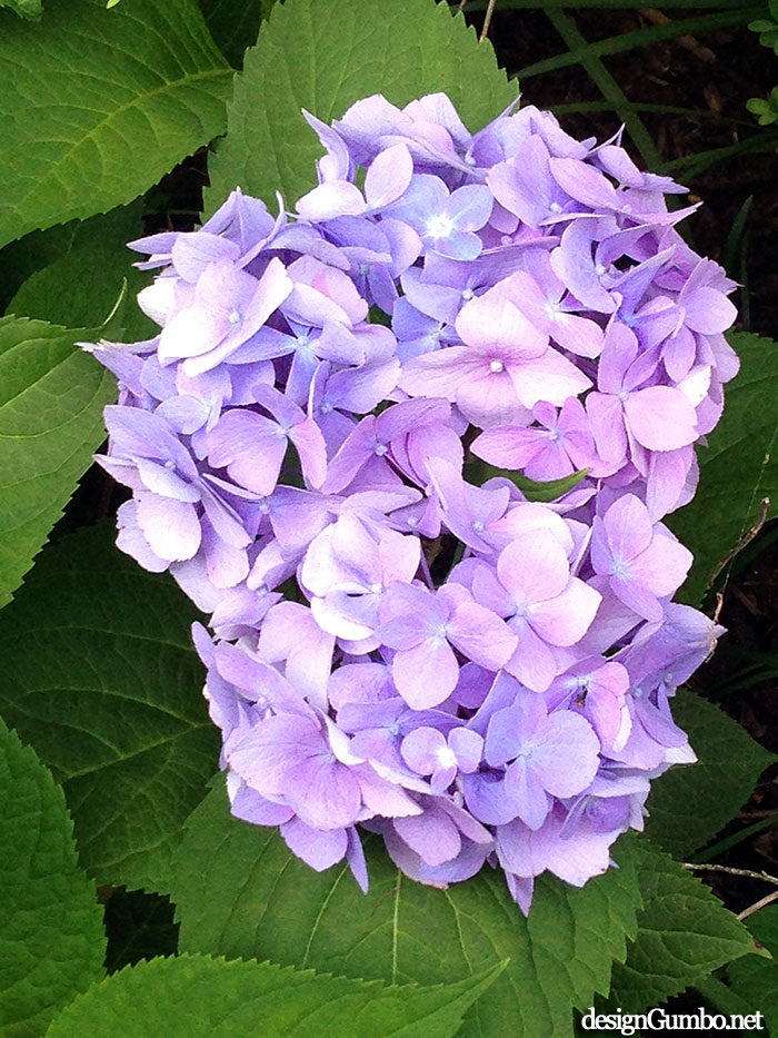 Hydrangea bloom - Up close and personal