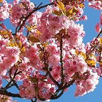 Kwanzan Cherry Blossoms Up Close