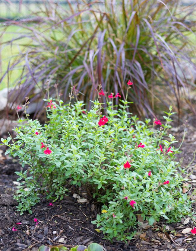 Autumn sage is a native Texas plant