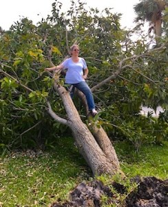 Freshly fallen mango tree in our front yard. Hurricane Irma