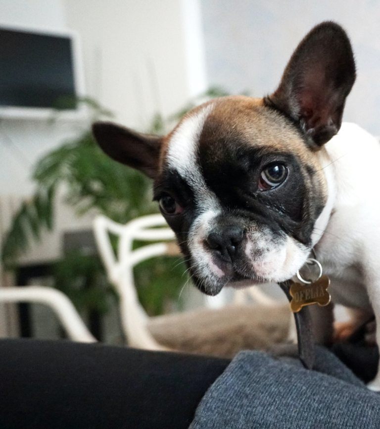 French Bulldog - An Awesome Buddy for Backpackers