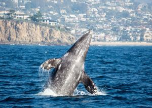 Join the Annual Giant Blue Whale Migration at Newport Landing Whale Watching