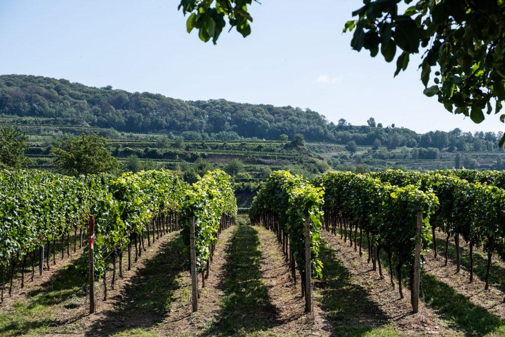 vindruer, vinranke, sommer, frodig, druer,