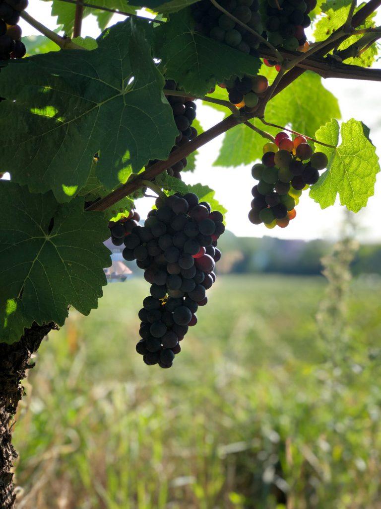 vin, vindrue, drue, utsikt, grønt