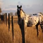 Palomino Horse Wallpapers Desktop Background