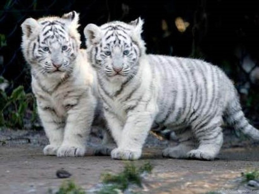 White Tiger Free Download Hd Wallpapers 2314 Hd Wallpapers Site Desktop Background