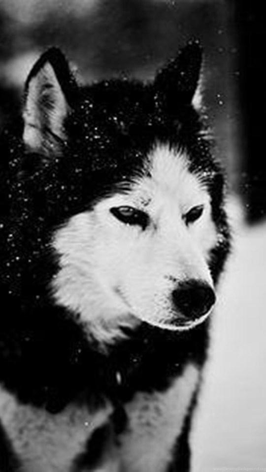 Husky Siberiano Wallpaper Hd Wallpaper Directory